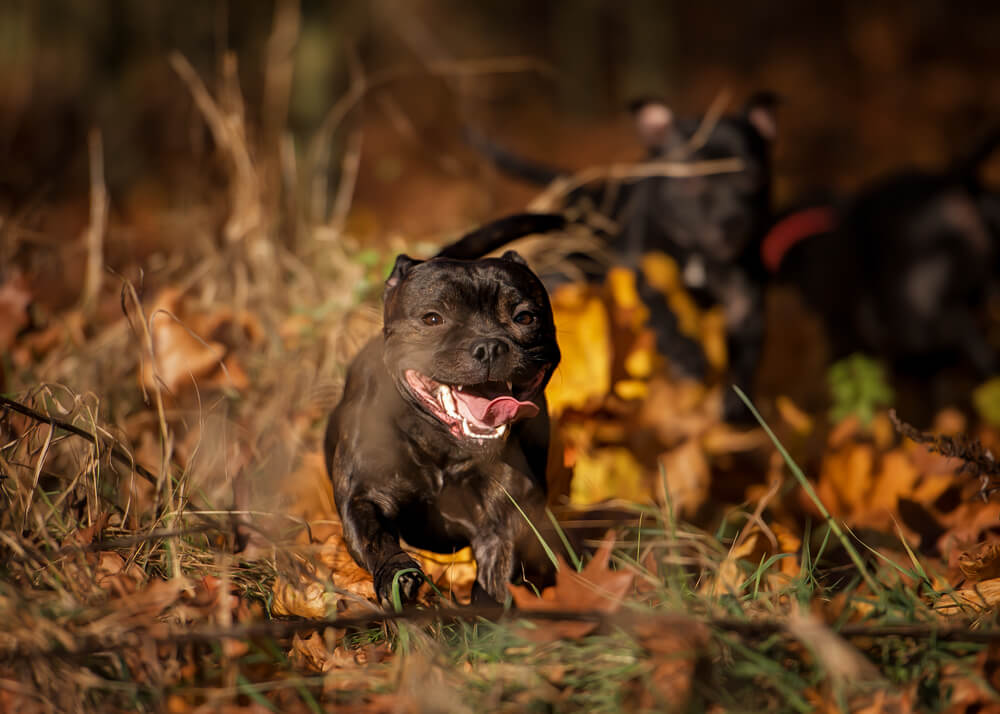 black staffy running in leaves