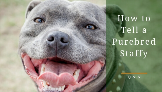 How to tell if a staffy is purebred