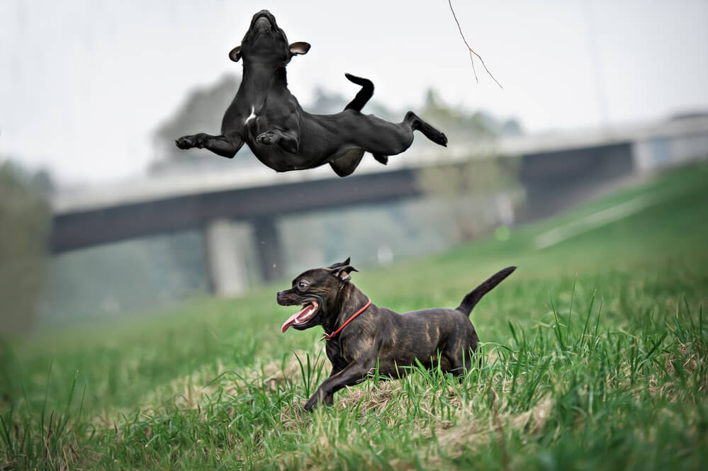 Running and jumping staffies