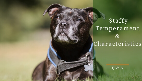 Staffy Temperament and Characteristics