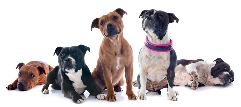 group of staffies