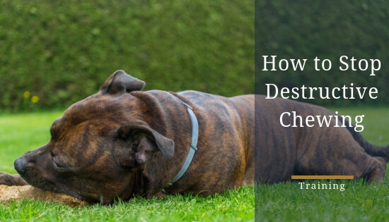 How to stop a staffy chewing