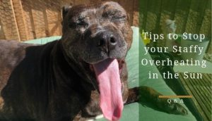 How to stop a staffy overheating