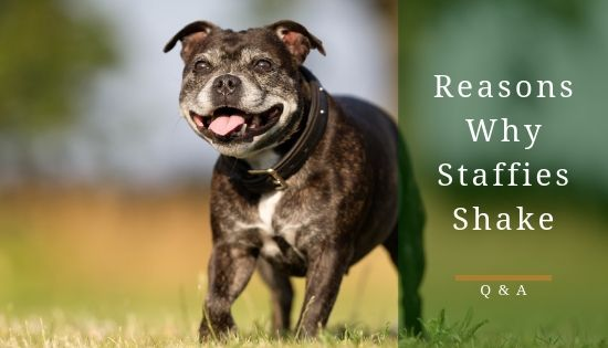 Why do staffies shake