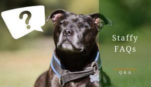 Staffordshire Bull Terrier FAQs