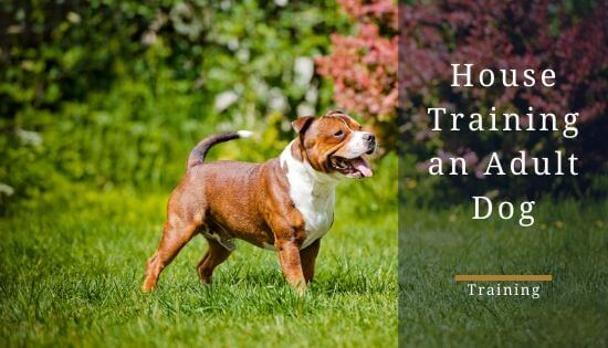How to House train an adult staffy