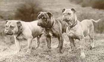 Olde English Bulldogs