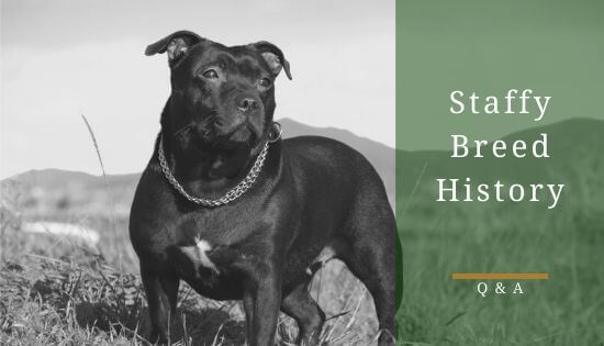 Staffordshire Bull Terrier Breed History
