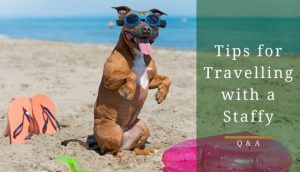 Travelling with a Staffordshire bull terrier
