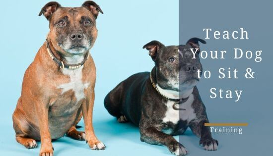 How to teach a Staffy to Sit and Stay