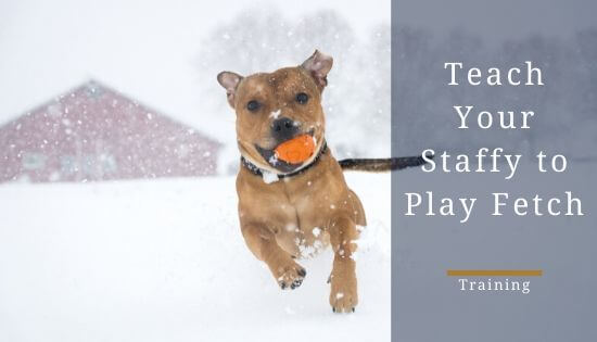 How to teach a staffy to fetch